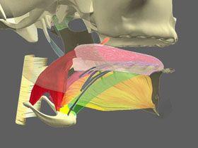 Anatomie des muscles de la langue