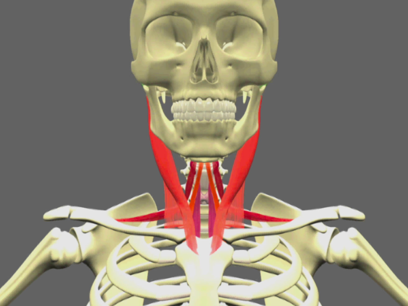 Video about Anatomy of the infra-hyoid muscles to rent at Cranio ...